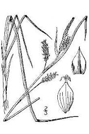 Plants Profile for Carex pallescens (pale sedge)
