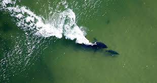 <b>White Sharks</b> Are Here to Stay in New England   The Brink   Boston ...