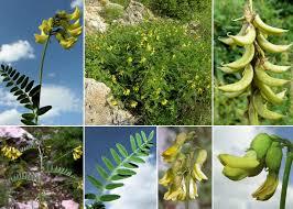 Astragalus penduliflorus Lam. - Sistema informativo sulla flora delle ...