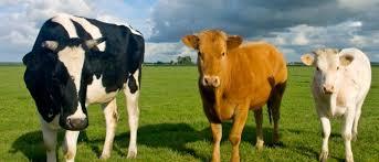 Resultado de imagen de bovino