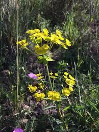 Euphorbia biumbellata · iNaturalist