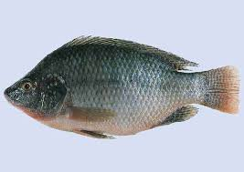 Image result for tilapia fish