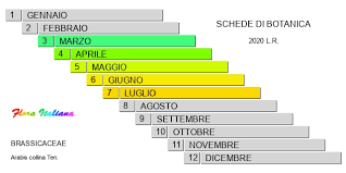 Arabis collina [Arabetta collinare] - Flora Italiana