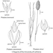 Phalaris minor