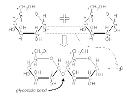 biochmnotesthis shows two glucose molecules joining together to form the disaccharide maltose  because this bond is between carbon  of one molecule and carbon  of