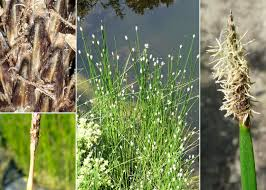 Eleocharis palustris (L.) Roem. & Schult. subsp. palustris - Portale ...