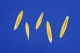 Plants Profile for Avena sativa (common oat)