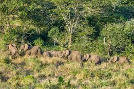 У Кенії відновлять стародавню слонячу стежку