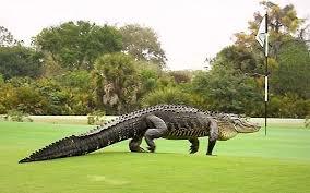 Image result for alligator