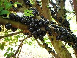 """""""arbre de raisin"""" trés étonnant connaissez vous?   (brésil   Images?q=tbn:ANd9GcQoENQQJt0veitUa5G8GexJBVQSdiyE7AciDor1L-Zchk4Qt1IZ"""