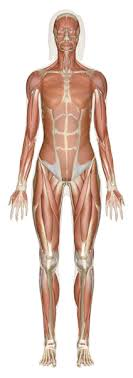human anatomy  learn all about the human body at innerbody comselect a human anatomy system below to begin