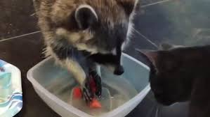Cat Scolds Playful Raccoon | Viral and Trending | AOL.com
