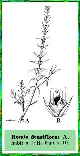 Rotala densiflora in Flora of Pakistan @ efloras.org