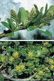 Salix retusa L.
