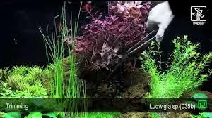 Ludwigia palustris - YouTube