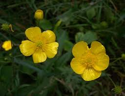 Tall Buttercup (Ranunculus acris)