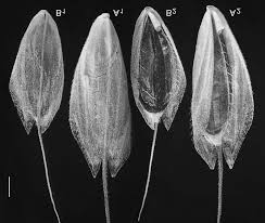 Some comments on the genus Bromus (Poaceae) and three new ...