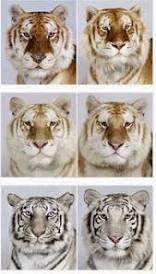 Los tigres de Amur o Siberianos