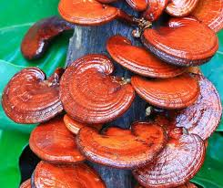 Image result for reishi mushroom benefits