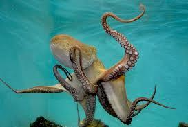 「章魚」的圖片搜尋結果