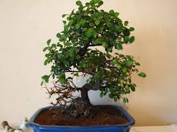 great question from daisy symptoms of over watering a chinese elm indoor bonsai tree chinese elm bonsai tree