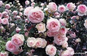 Buy <b>Ormonde Jayne Rose Gold</b> Parfum Sample- Decanted ...
