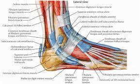 foot tendon anatomy diagram   healthsanaz comfoot tendon anatomy diagram fa  references of foot anatomy