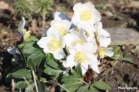 Christmas Rose, Helleborus niger - How to Plant and Care ...