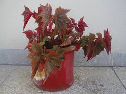 Image result for begonia plant in a plant pot