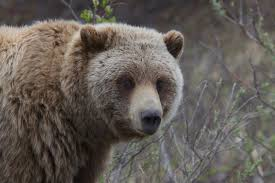 an open letter to obama about grizzly bears adventure journal essays