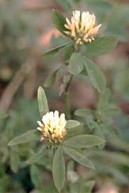 Trifolium alexandrinum - Wikipedia