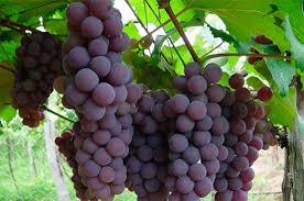 Resultado de imagen de racimo de uvas