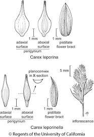 Carex leporina