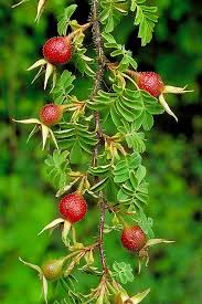 Rosaceae in Flora of China @ efloras.org