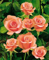 Image result for images of small roses hd