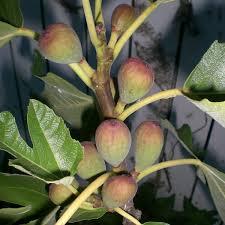 produce clerk the produce clerks handbook by rick chong fragile fresh figs