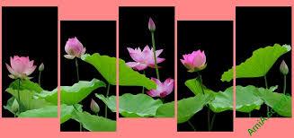 Kết quả hình ảnh cho hình ảnh hoa sen