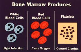 Image result for red blood cells and bone marrow