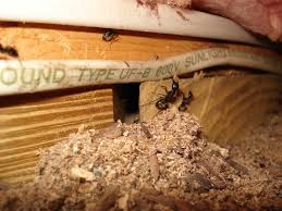 Carpenter Ants destroy homes