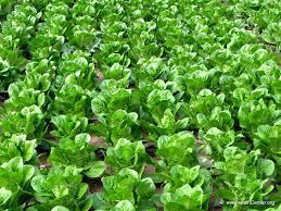 Operaron a la baja los precios de las hortalizas de hoja