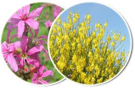 Hieracium glaucinum Jord. - Sistema informativo sulla flora ...