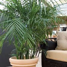 indoor-bamboo-palm-trees-plant