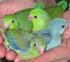 Image result for baby parrot