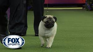 Biggie the <b>Pug</b> wins the Toy Group | WESTMINSTER <b>DOG</b> SHOW ...