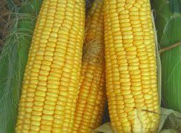 <b>Семена Кукуруза</b> сахарная <b>Лакомка белогорья</b> : описание сорта ...