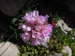 Armeria gracilis Ten.