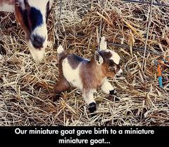 Animal Memes - Miniature miniature goat | FunnyMeme.com via Relatably.com