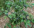huckleberry plant