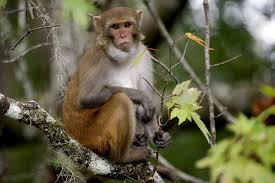 These wild monkeys thrive in Florida—and carry a <b>deadly</b> virus