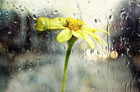Risultati immagini per fiore bagnato